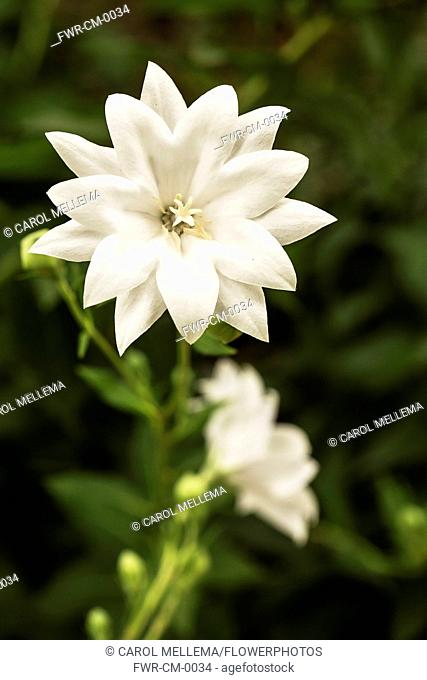 Balloon flower, Platycodon grandiflorus 'Hakone White'. Flower stem with large, white, double petalled flowers