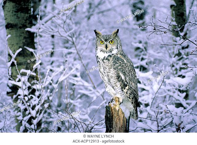 Great horned owl bubo virginianus snow Stock Photos and