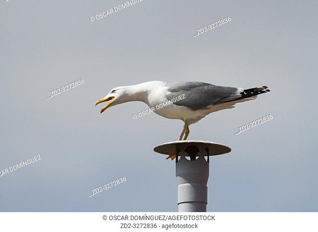 Yellow-legged Gull (Larus michahellis), adult perched on a fake chimney. Barcelona. Catalonia. Spain