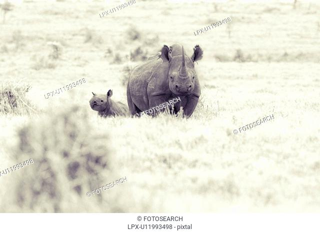 High key desaturated image of adult female rhino facing viewer, and very young baby behind her, Lewa Downs, Kenya, East Africa