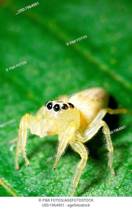 Female Jumping spider. Salticidae, Araneida, Arachnida