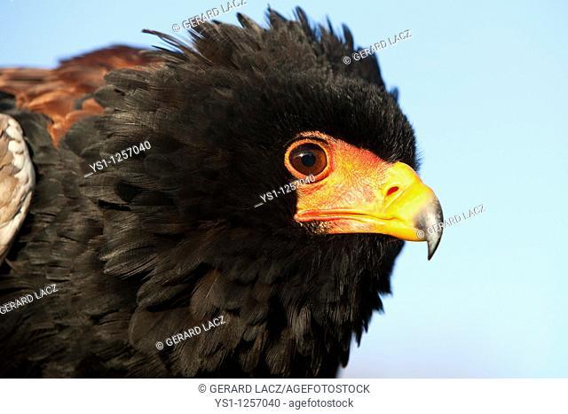 BATELEUR EAGLE terathopius ecaudatus