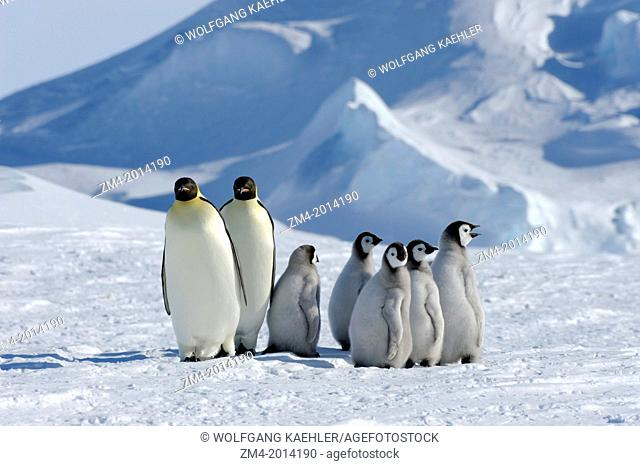 ANTARCTICA, WEDDELL SEA, SNOW HILL ISLAND, EMPEROR PENGUINS Aptenodytes forsteri, ADULTS WITH CHICKS ON FAST ICE