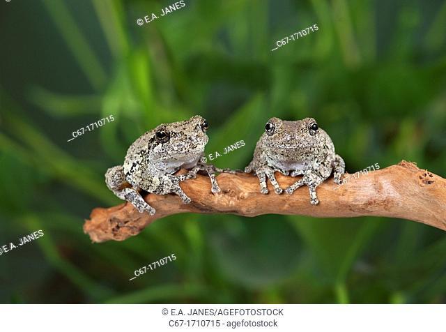 Grey Tree Frog Hyla vericolor
