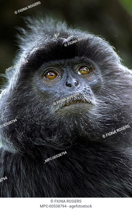 Silvered Leaf Monkey (Trachypithecus cristatus) male, Bako National Park, Sarawak, Borneo, Malaysia