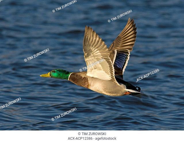 Male Mallard in flight at Esquimalt Lagoon, Victoria, British Columbia, Canada