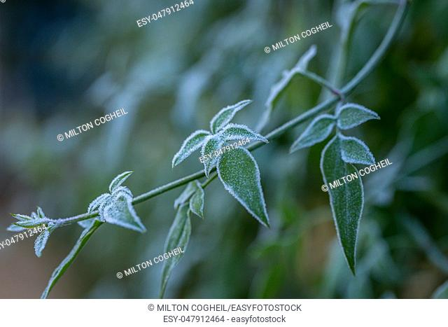 Ice crystals (hoar frost) on green plant leaves