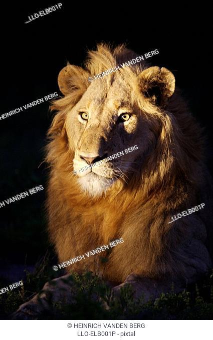 Male Lion Panthera leo Lit Up on Night Drive  Sabi Sands Conservancy, Mpumalanga Province, South Africa