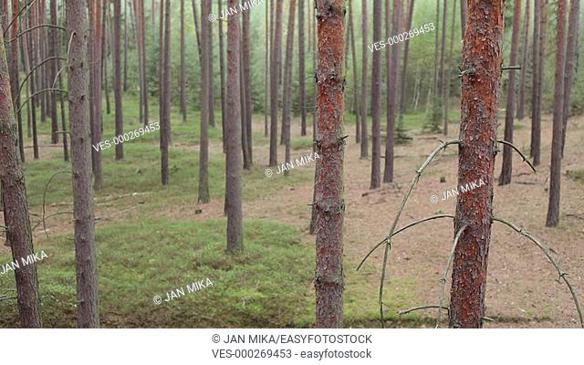 Forest landscape with coniferous trees in the Czech Republic