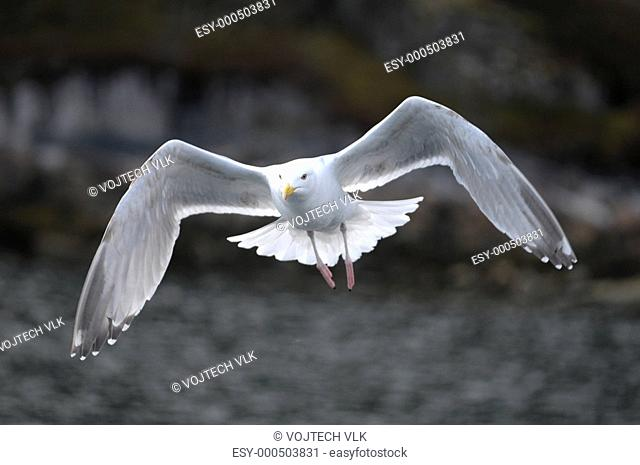 The flying seagull in Norge