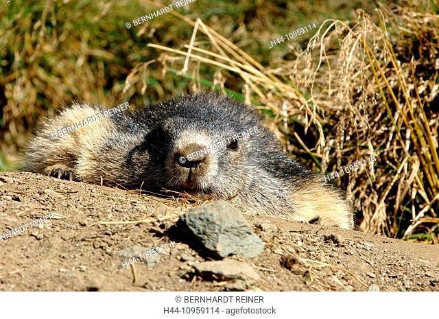 Groundhog, rodent, Alpine groundhog, gopher, Mankei, Marmota, animal, animals, Germany, Europe