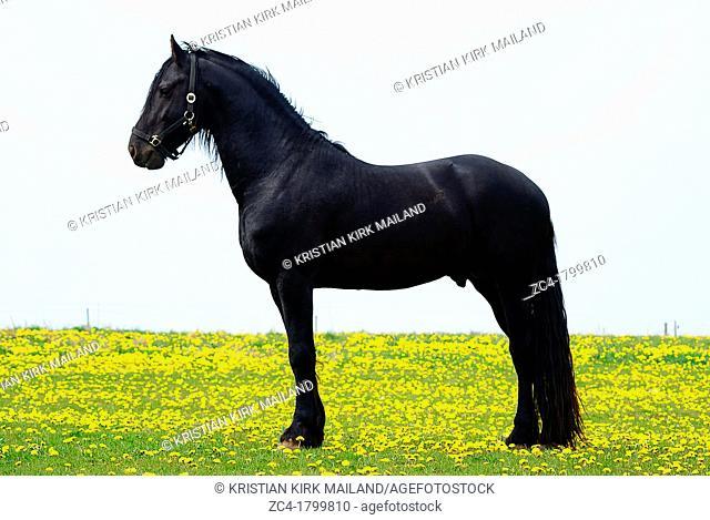 Black arab stallion