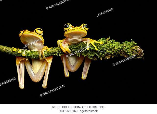 Two Imbabura Treefrogs (Hypsiboas pictuator), Treefrog family (Hylidae), Choco rainforest, Ecuador
