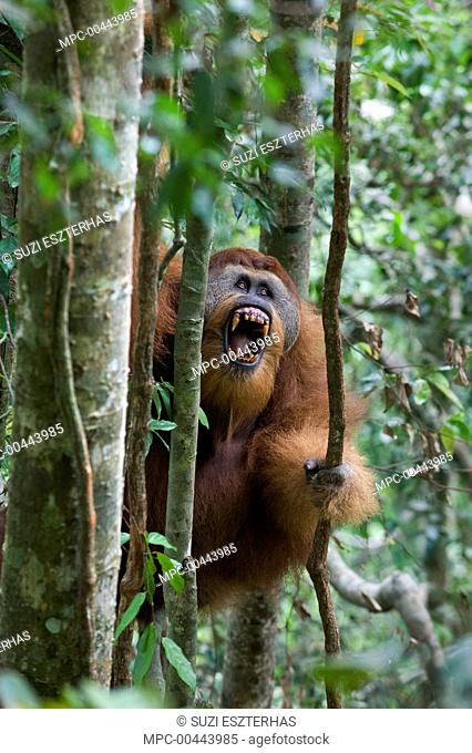 Sumatran Orangutan (Pongo abelii) dominant male in tree displaying, Gunung Leuser National Park, north Sumatra, Indonesia