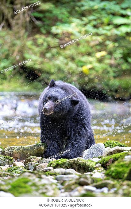 Black spirit bear (Ursus americanus kermodei), shaking water from fur, Great Bear Rainforest, British Columbia, Canada. Approximately 1 in 10 bears of this...