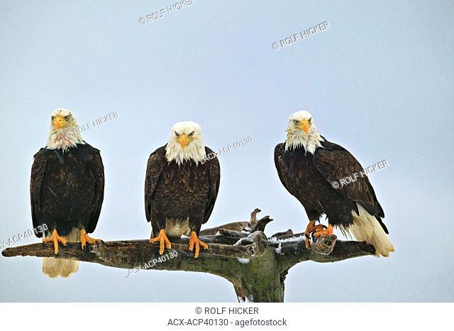 Bald Eagles Haliaeetus leucocephalus, Alaska, United States of America