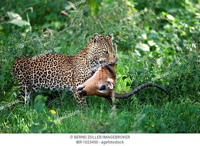 Leopard (Panthera pardus) with prey, Impala (Aepyceros melampus), Lake Nakuru, national park, Kenya, East Africa