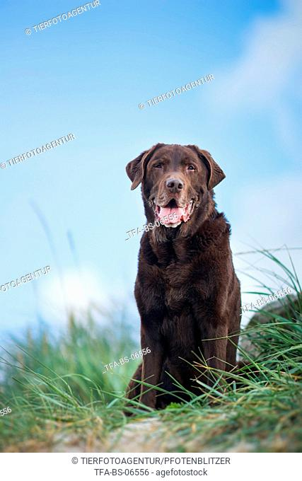 old Labrador Retriever