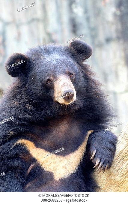 South east Asia, India,Arunachal Pradesh state,Himalayan Black Bear or Asian black bear (Ursus thibetanus)