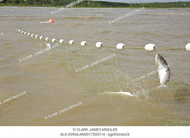 Close up of a salmon caught in a commercial set net in Bristol Bay near Dillingham, Alaska