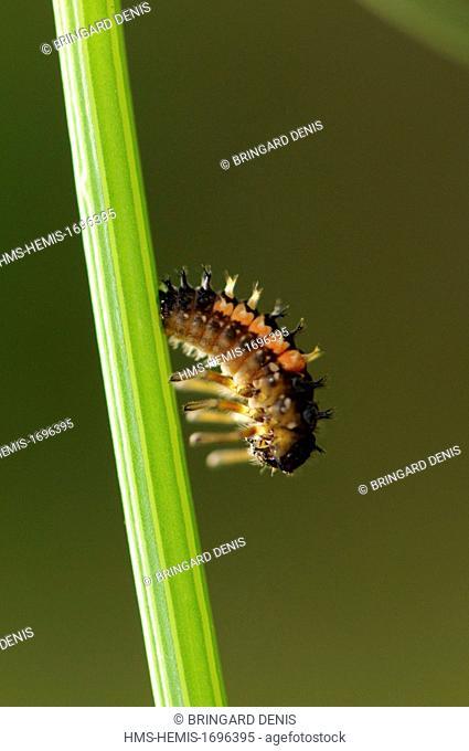 France, Territoire de Belfort, Belfort, garden, Asian lady beetle (Harmonia axyridis), larva pupate