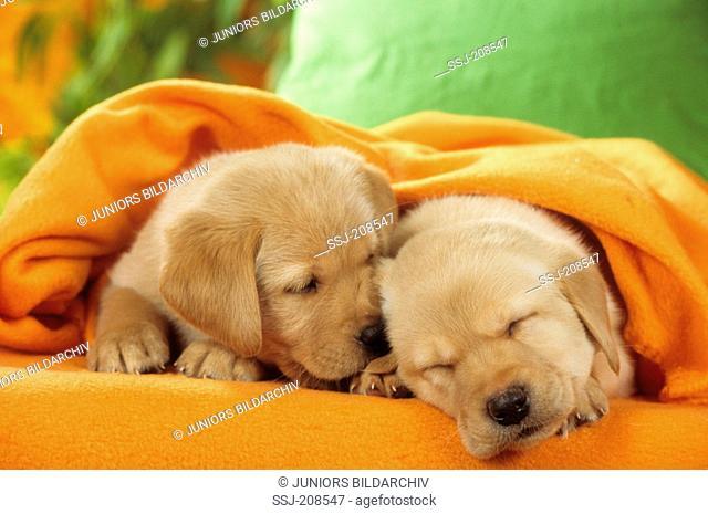 Golden Retriever. Two puppies sleeping under an orange blanket. Studio picture. Germany