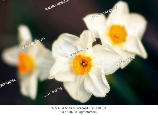 Daffodil Flower Trio (Narcissi). Narcissus hybrid. March 2006, Maryland, USA