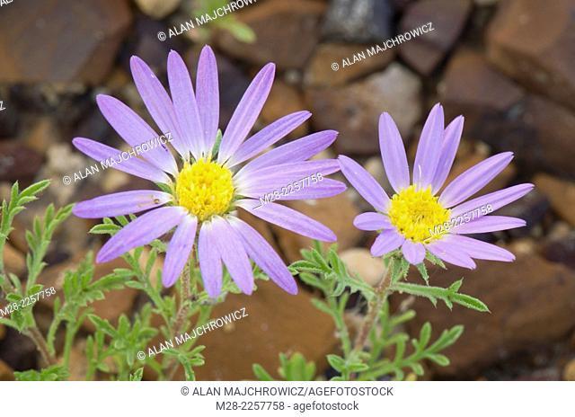 Tahoka Daisy (Machaeranthera tanacetifolia) Terry Badlands Montana