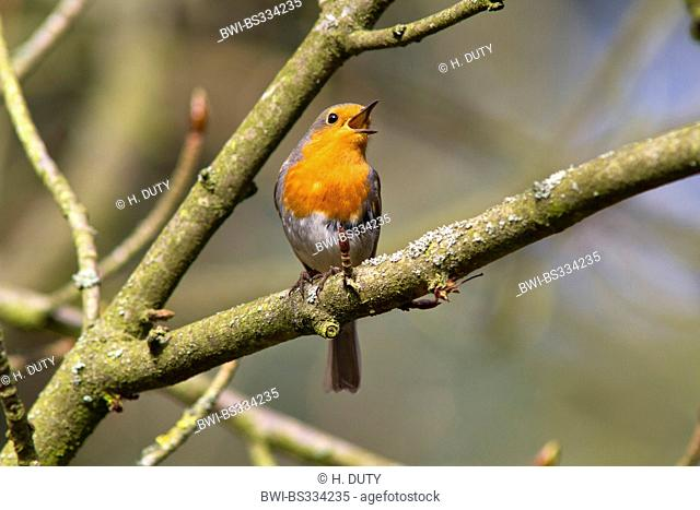 European robin (Erithacus rubecula), singing male, Germany, Mecklenburg-Western Pomerania