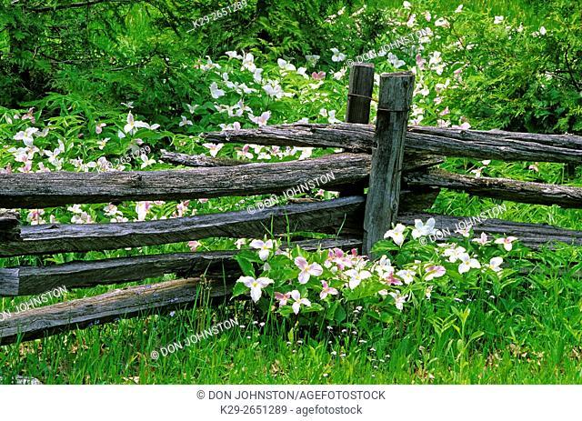 Aging trilliums surround a cedar split-rail fence, near Sheguiandah, Manitoulin Island, Ontario, Canada