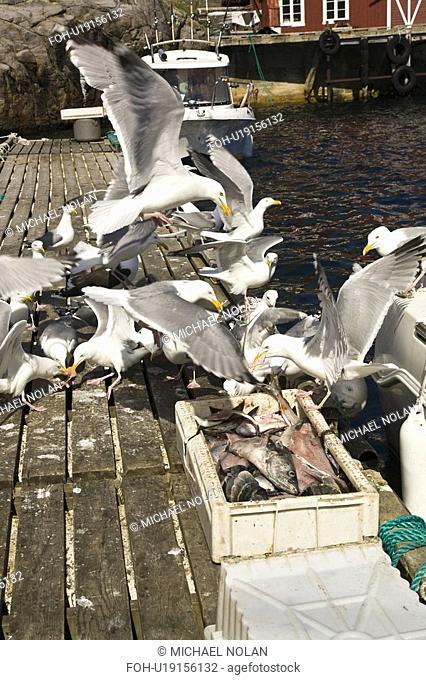 Adult black-legged kittiwakes Rissa tridactyla on the docks in the town of , Norway