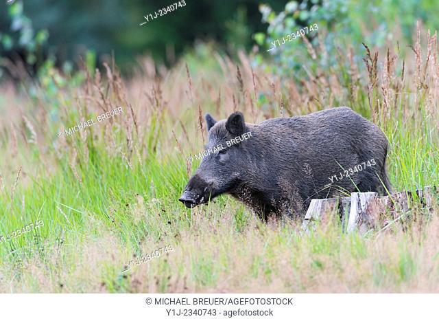 Wild boar (Sus scrofa), Spessart, Bavaria, Germany, Europe