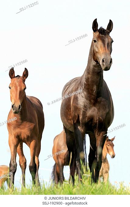 Pure Spanish Horse, Andalusian. Bay mare with foal standing on a pasture. Germany