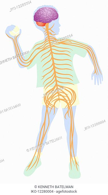 Biomedical illustration of nervous system in boy throwing ball