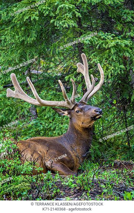 A bull elk resting in the forest in Jasper National Park, Alberta, Canada