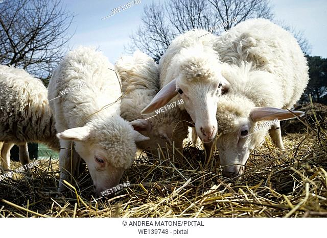 Sheeps browsing hey