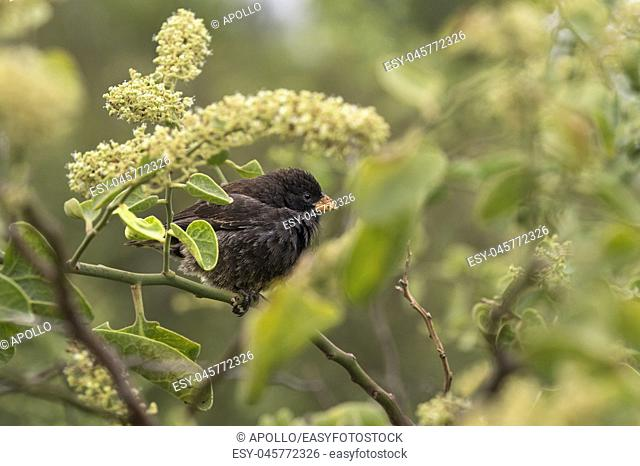 Small Ground Finch (Geospiza fuliginosa), belongs to the group of Darwin finches and is endemic to Galapagos, Floreana Island, Galapagos Islands, Ecuador