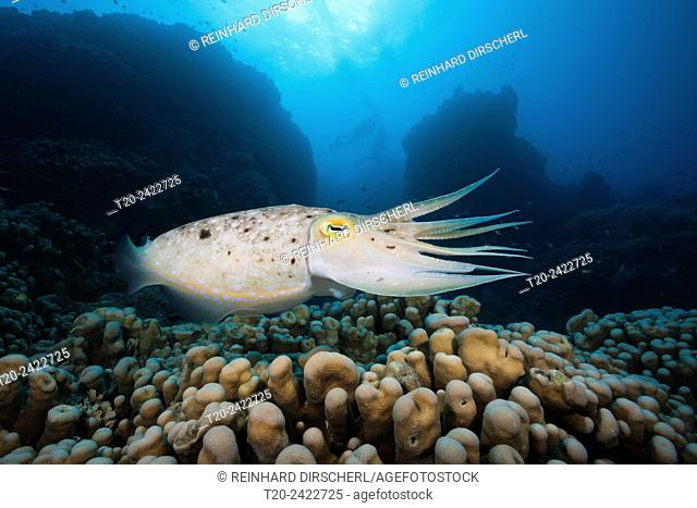 Broadclub Cuttlefish, Sepia latimanus, Great Barrier Reef, Australia