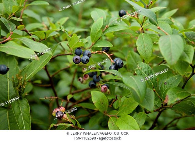 Blueberries, Shining Rock Wilderness Area, Pisgah National Forest, North Carolina, USA