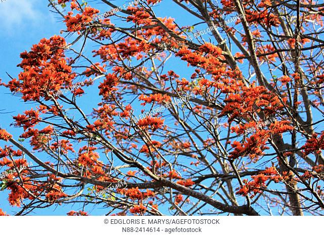 Erythrina poeppigiana, Bucare, Venezuelan tree