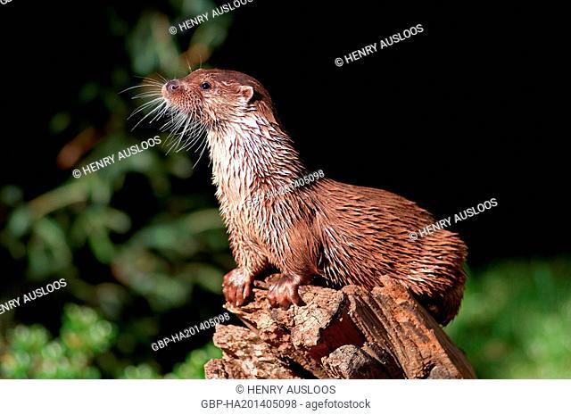 European otter, Lutra lutra