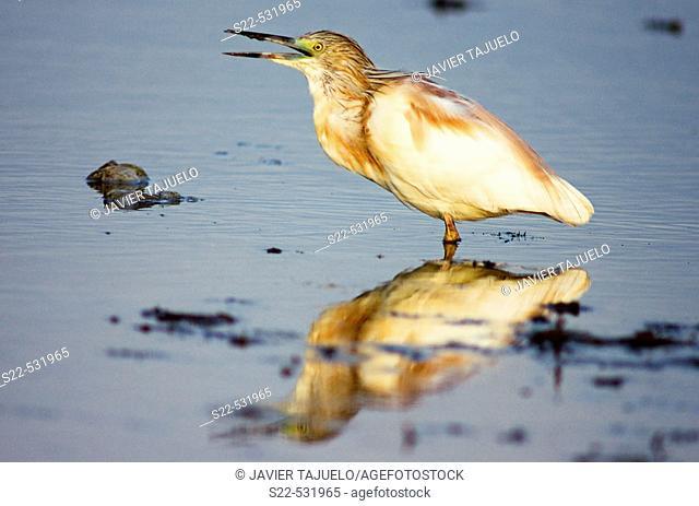 Bird on wetland. Squacco Heron (Ardeola ralloides)