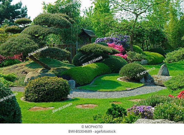 mountain pine, mugo pine (Pinus mugo pumilio, Pinus mugo var. pumilio), in a Japanese garden, Germany, Lower Saxony, Bad Zwischenahn, Park der Gaerten