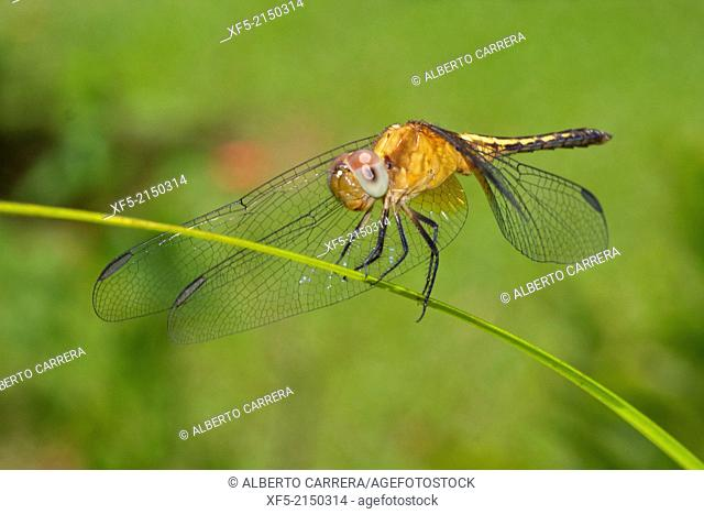 Dragonfly, Tropical Rainforest, Costa Rica, Central America, America