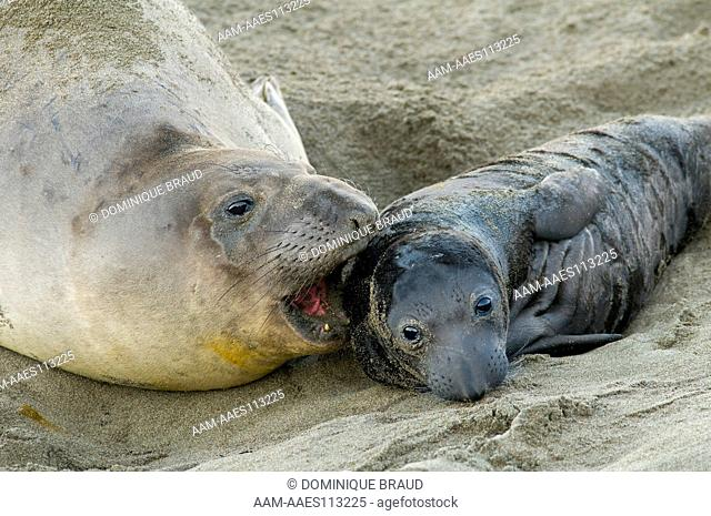Female Elephant Seal with newborn pup (Mirounga angustirostris). Point Piedras Blancas. San Luis Obispo County, CA. Late December