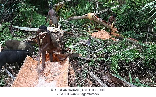 Kombai women extracting small Sago wood form the tree trunk, Papua, Indonesia, Southeast Asia