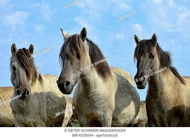Three Dülmen mares standing close together with ears pricked, Merfelder Bruch, Dülmen, Münsterland, North Rhine-Westphalia, Germany