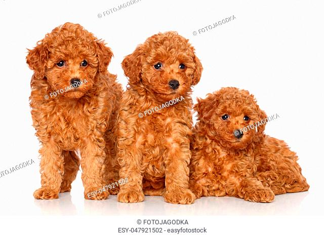 Poodle puppies posing on a white background