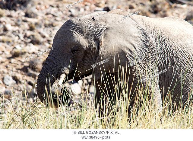 African Elephant (Loxodonta africana) - Desert Rhino Camp - Damaraland, Namibia, Africa