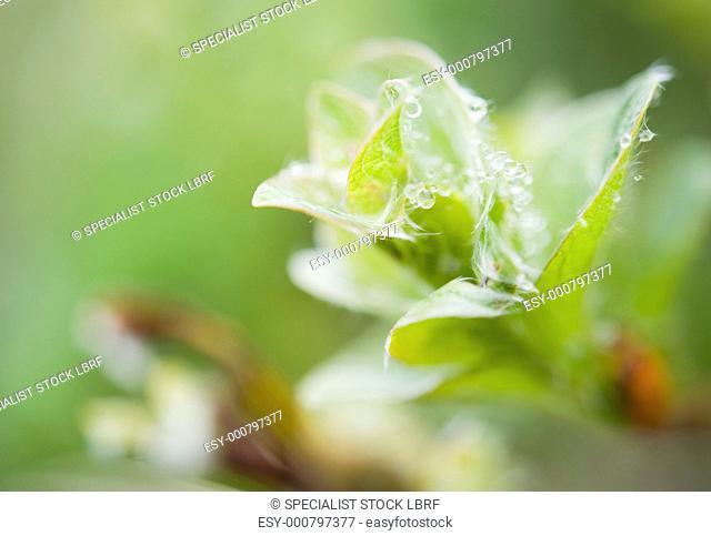 Castilleja Occidentalis Castilleja Occidentalis, Arctic flora of, Chirpoy Island Bering Sea, Russia, Asia